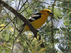 Golden-bellied_Grosbeak_RWD