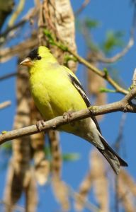 Male_American_Goldfinch_in_Lodi_CA