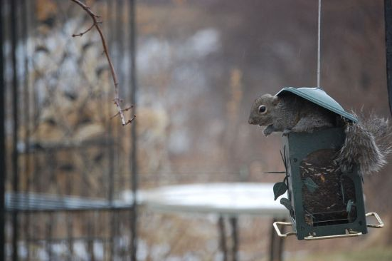 Squirrel_eating_from_feeder