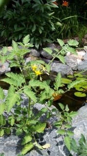 Tomato plant coming up between rocks that surround a small garden pond.