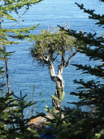 Manidoo-giizhikens, or Little Cedar Spirit Tree - Grand Portage, MN