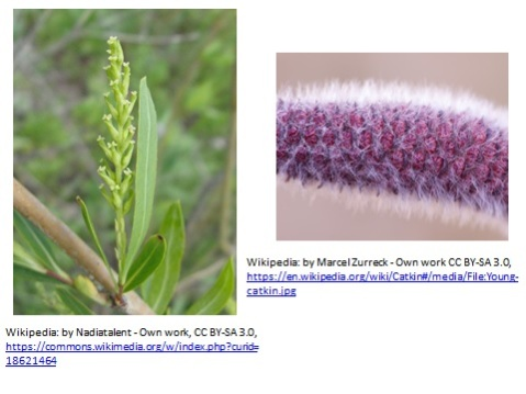 Wikipedia: Male Catkin - by Marcel Zurreck - Own work CC BY-SA 3.0 Female Catkin - by Nadiatalent - Own work, CC BY-SA 3.0
