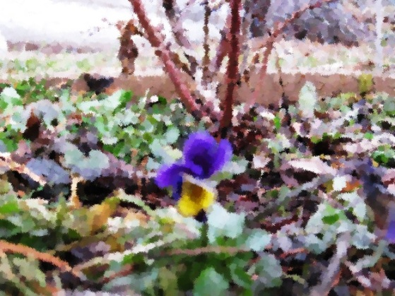 Blooming Viola – February 22, 2017 (my attempt to turn a blurry photo into edited art when there's no chance of ever taking another picture after the moment passes…)